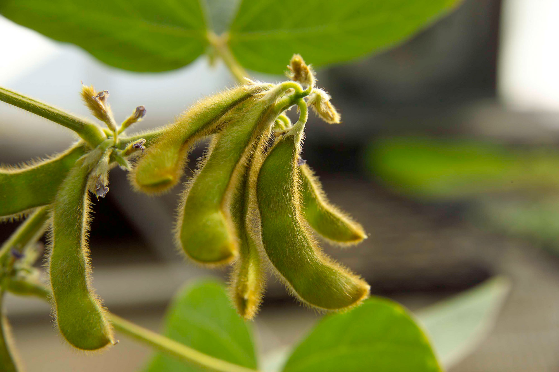 Para el precio de la soja y el maíz, prevalecen los factores alcistas